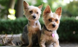 AKC Yorkie Puppies For Sale in California