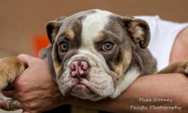 Want a French or English bulldog? A Westminster shelter has 78 that need homes – Daily News