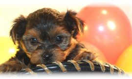 Teacup Puppies and Dogs For Sale in Hilliard, Ohio