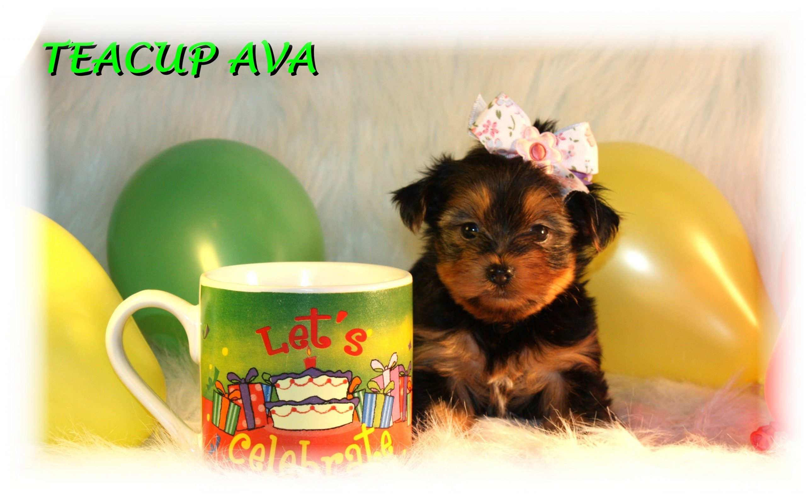Teacup Puppies and Dogs For Sale in Brunswick, Ohio