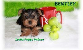 Teacup Puppies and Dogs For Sale in Upper Arlington, Ohio