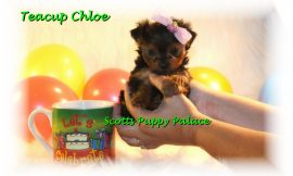 Teacup Puppies and Dogs For Sale in Gahanna, Ohio