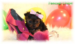 Teacup Puppies For Adoption