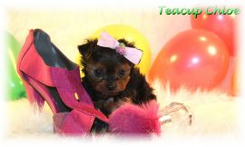 Teacup Puppies and Dogs For Sale in Findlay, Ohio