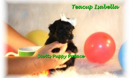 Teacup Puppies and Dogs For Sale in Huber Heights, Ohio