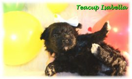 Teacup Puppies and Dogs For Sale in Reynoldsburg, Ohio