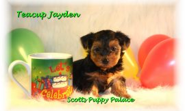 Teacup Puppies and Dogs For Sale in Warren, Ohio