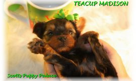 Teacup Puppies and Dogs For Sale in Westerville, Ohio