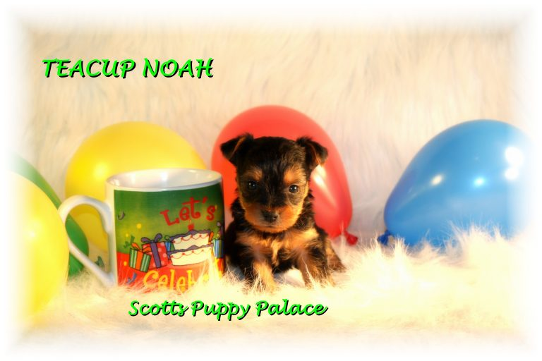 Teacup Puppies and Dogs For Sale in Delaware, Ohio
