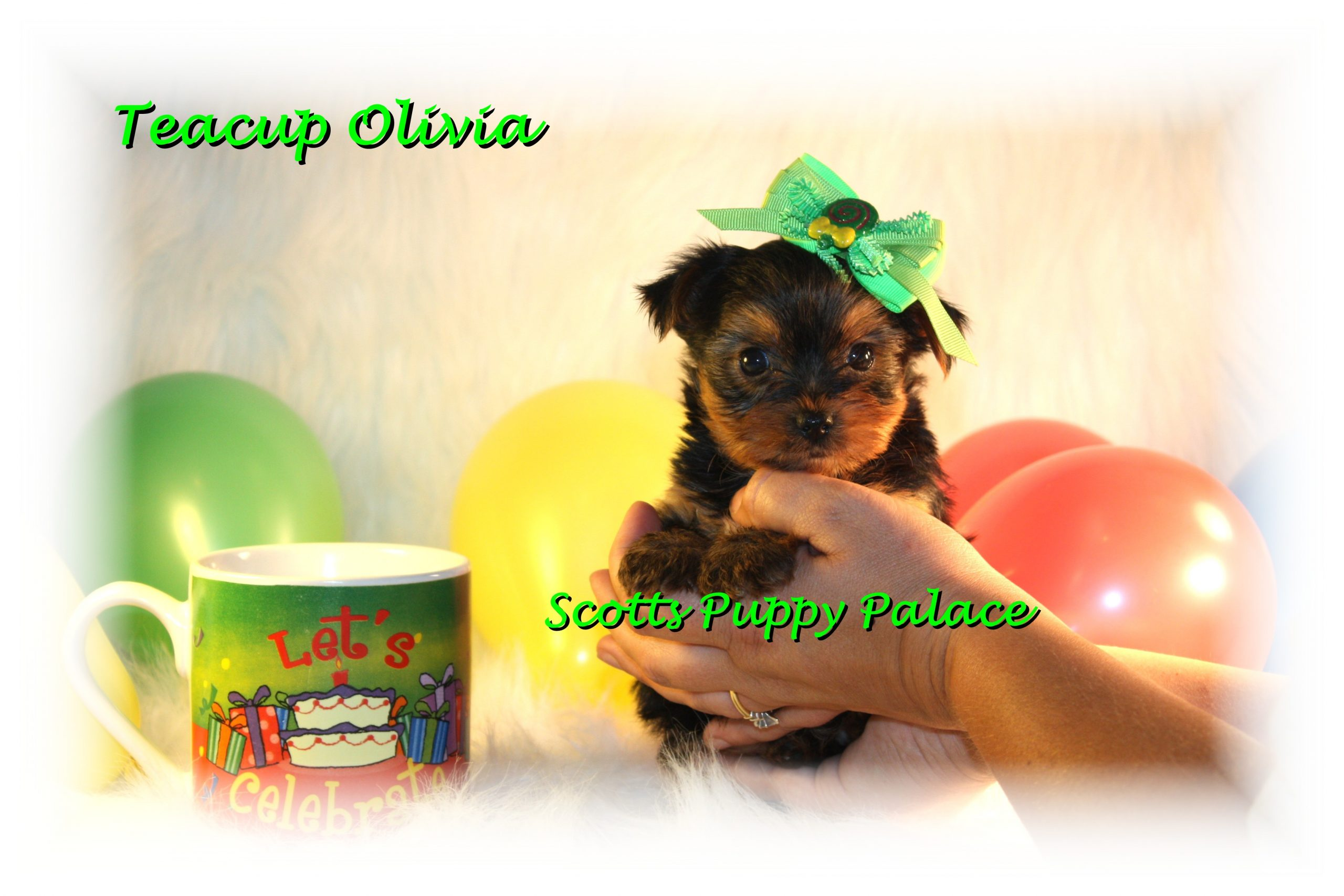 Teacup Puppies and Dogs For Sale in Grove City, Ohio