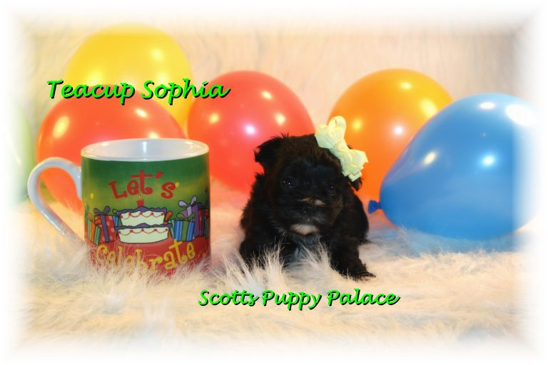 Teacup Puppies and Dogs For Sale in Fairfield, Ohio