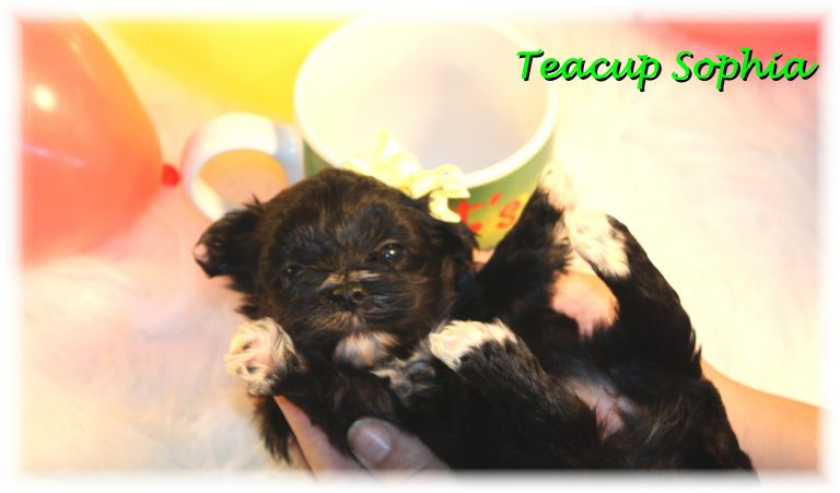 Teacup Puppies and Dogs For Sale in Strongsville, Ohio