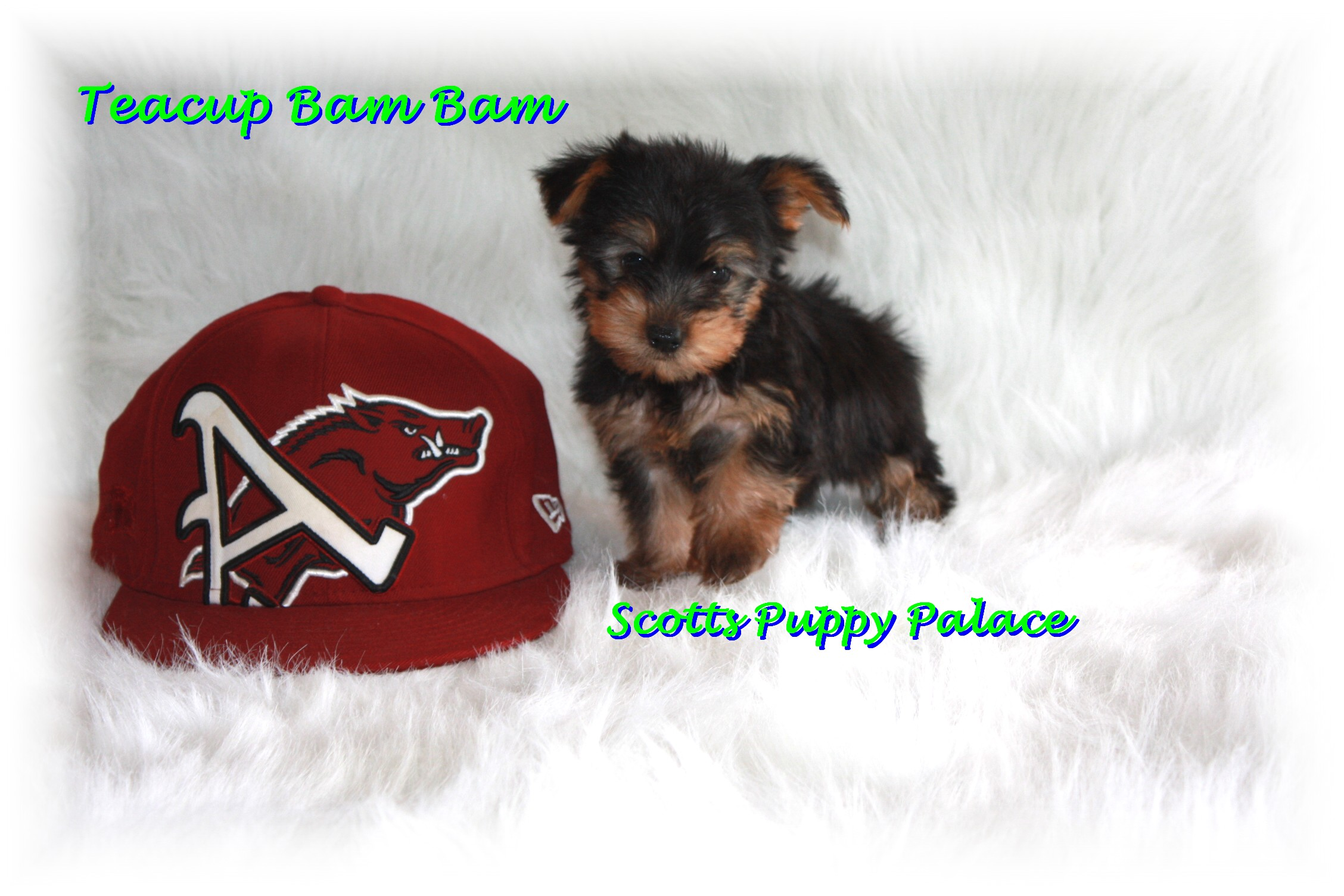 Teacup Puppies and Dogs For Sale in Euclid, Ohio