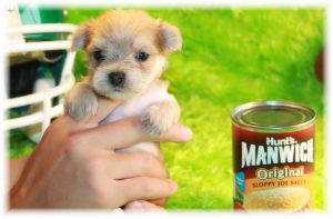 Miniature Puppies For Sale