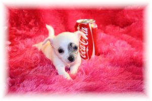 Teacup Dogs For Adoption