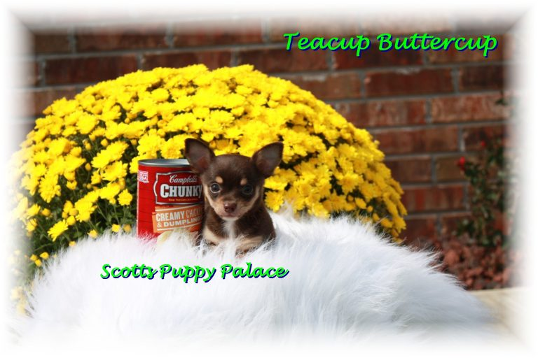 Teacup Puppies and Dogs For Sale in Lakewood, Ohio