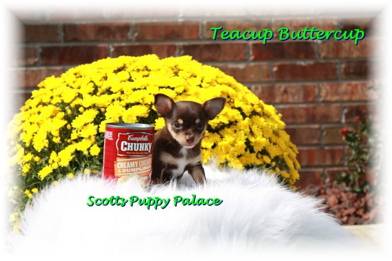 Teacup Puppies and Dogs For Sale in Dublin, Ohio