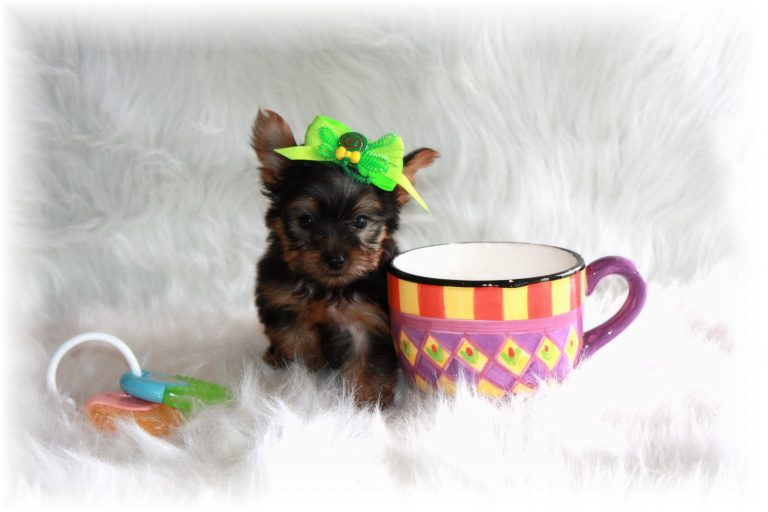 Teacup Puppies For Sale in Wyoming Blog