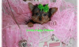 Teacup Puppies For Sale in Alabama Blog