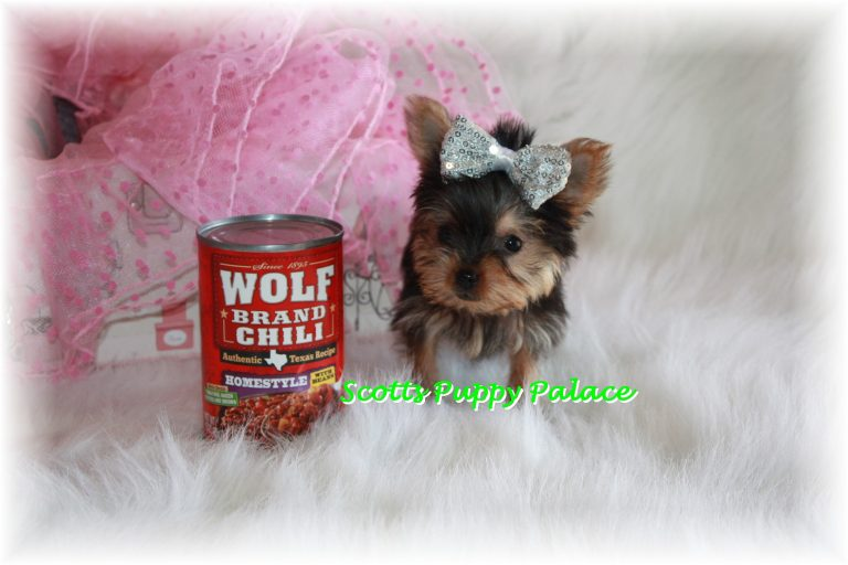 Teacup Puppies For Sale in Arkansas Blog