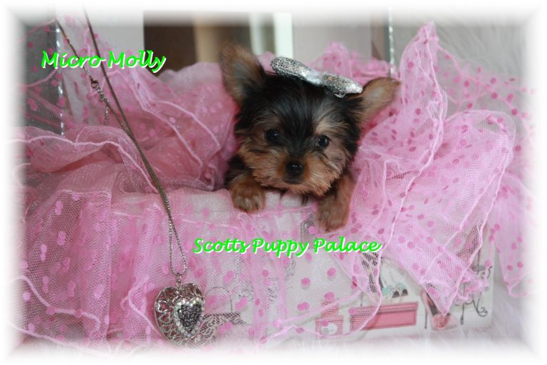 Teacup Puppies For Sale in California Blog