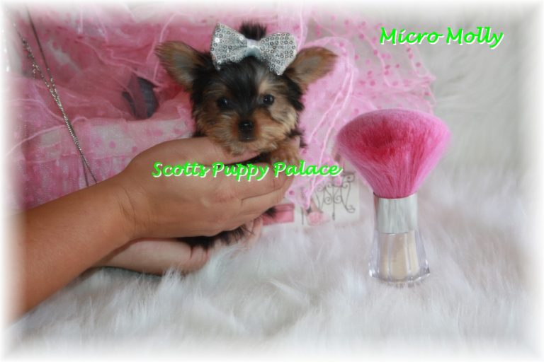 Teacup Puppies For Sale in Georgia Blog