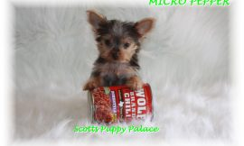Teacup Puppies For Sale in Hawaii Blog