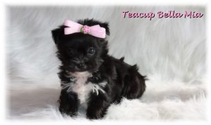 Teacup Dogs For Sale