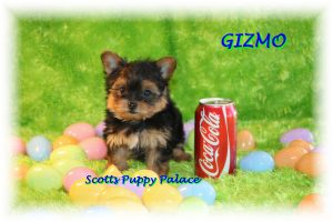 Teacup Puppies For Sale United States