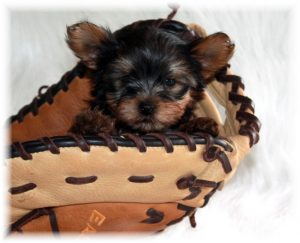 Teacup Puppies For Sale Near Me