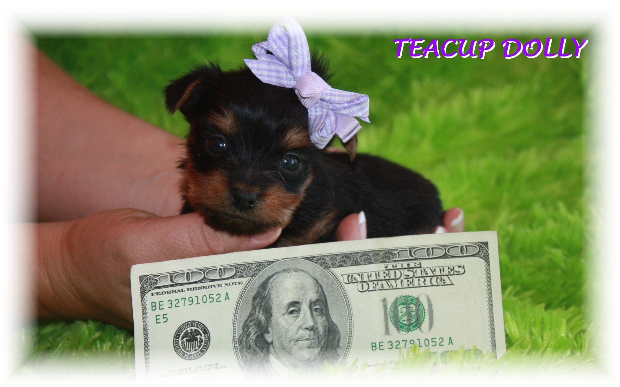 Teacup Puppies For Sale – Teacup Dogs Blog