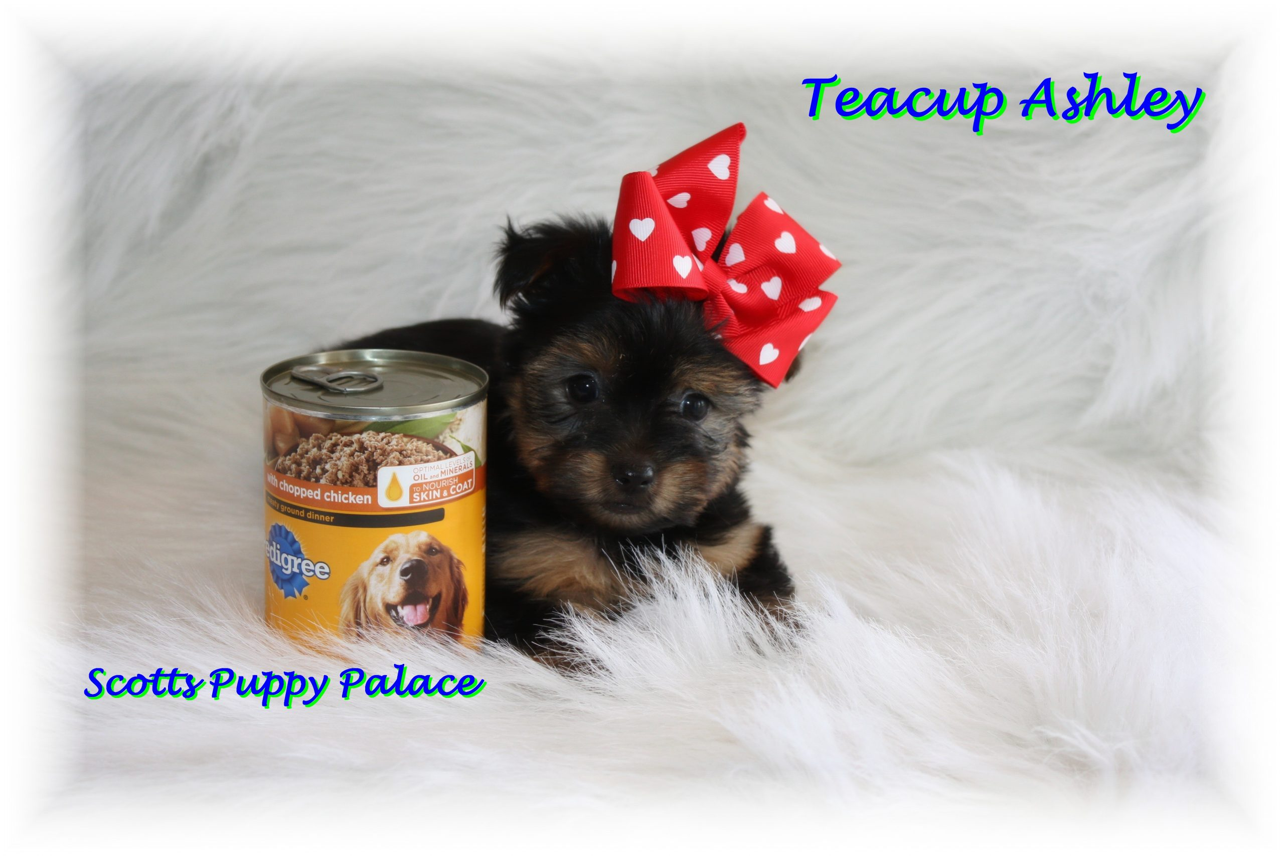 Teacup Puppies and Dogs For Sale in Cleveland Heights, Ohio