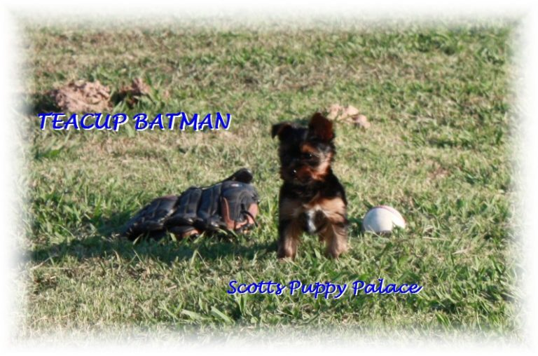 Teacup Puppies and Dogs For Sale in Mansfield, Ohio