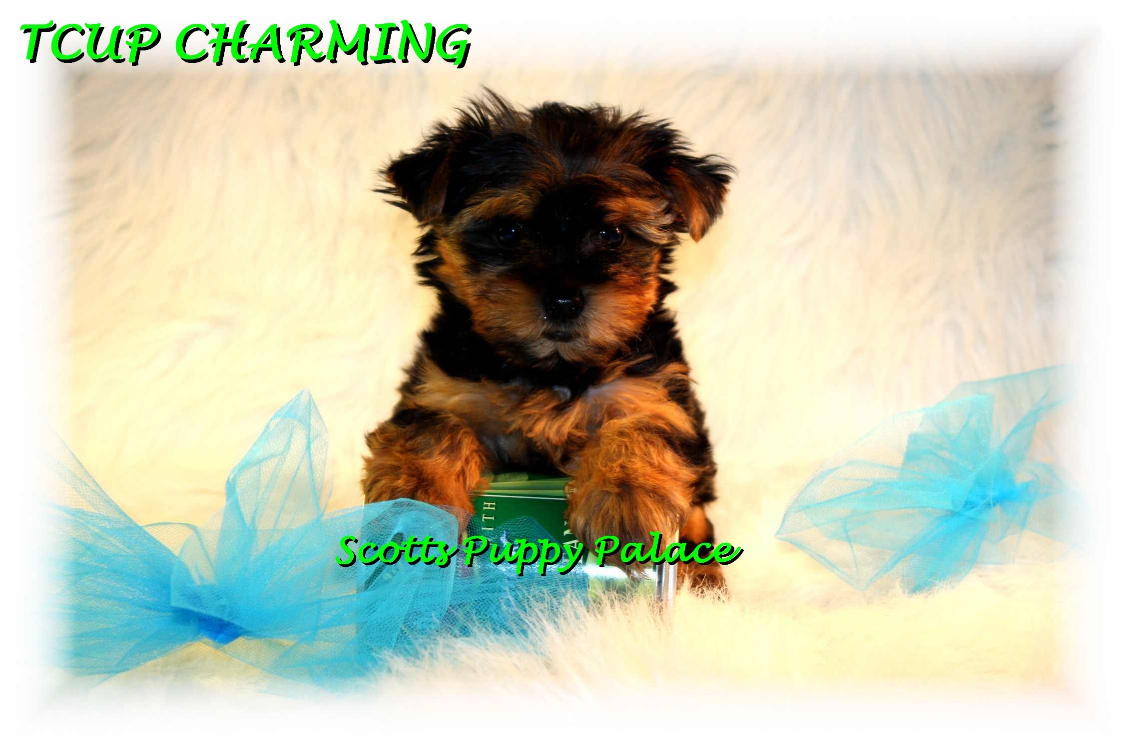 Teacup Puppies and Dogs For Sale in Mentor, Ohio