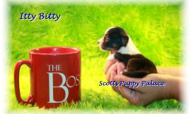 Teacup Puppies and Dogs For Sale in Middletown, Ohio