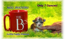 Teacup Puppies and Dogs For Sale in Beavercreek, Ohio