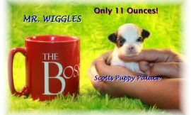 Teacup Puppies and Dogs For Sale in Cuyahoga Falls, Ohio