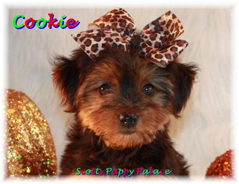 Teacup Puppies and Dogs For Sale in Elyria, Ohio