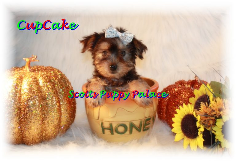 Teacup Puppies and Dogs For Sale in Kettering, Ohio