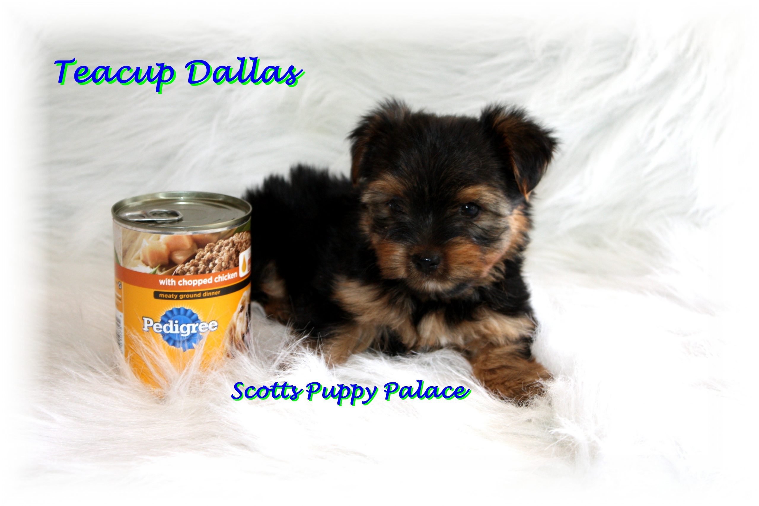 Teacup Puppies and Dogs For Sale in Springfield, Ohio