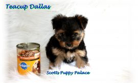 Teacup Puppies and Dogs For Sale in Newark, Ohio