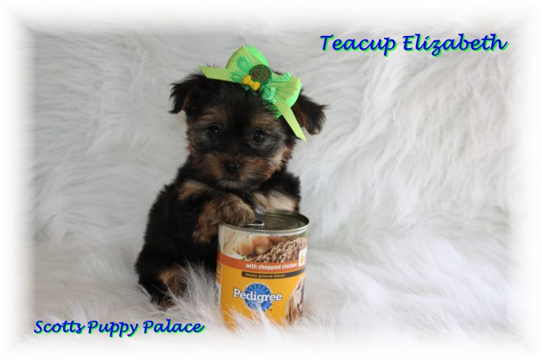 Teacup Puppies and Dogs For Sale in Hamilton, Ohio