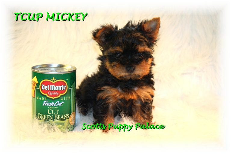Teacup Puppies For Sale in Wisconsin Blog