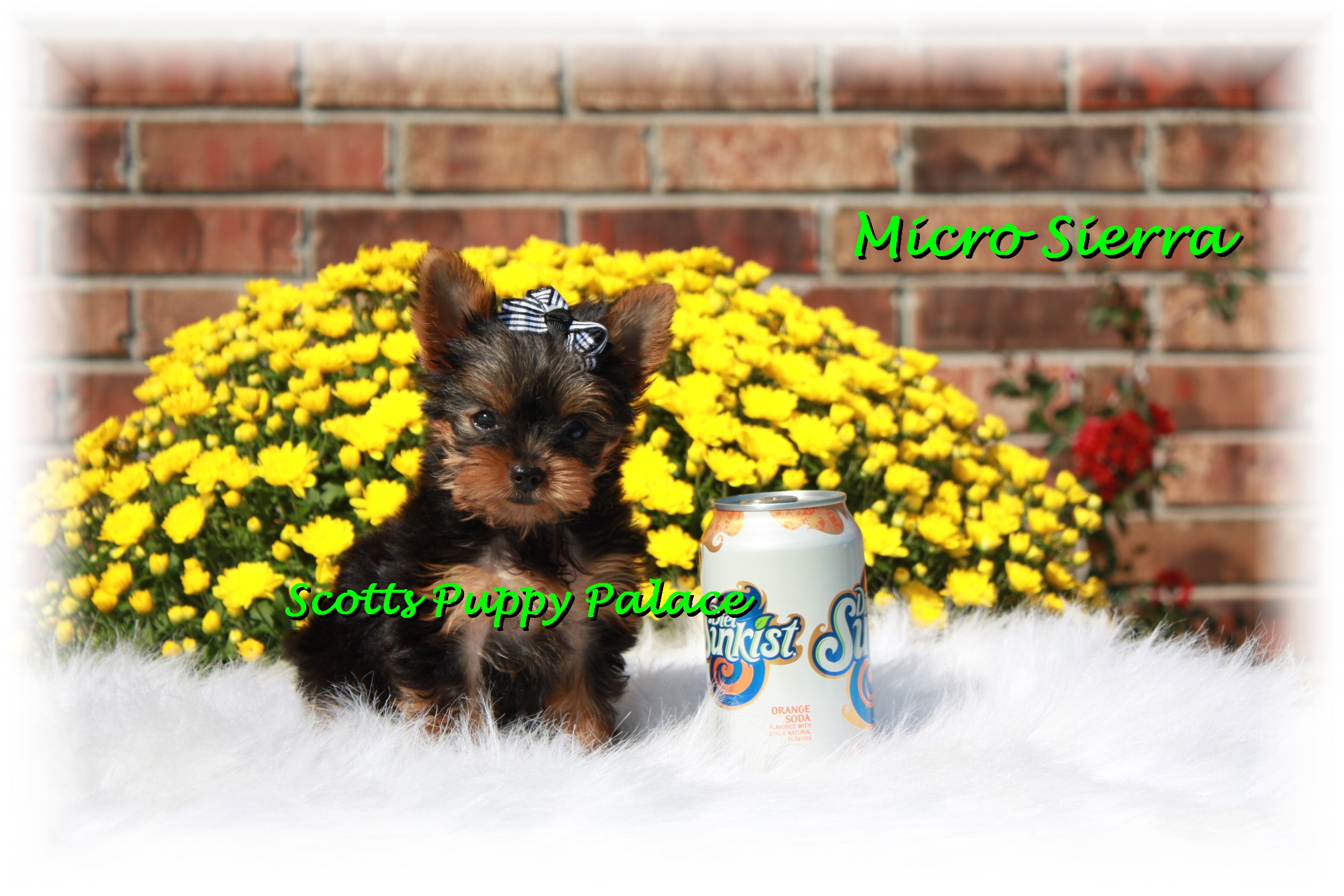 Teacup Puppies For Sale in Illinois Blog