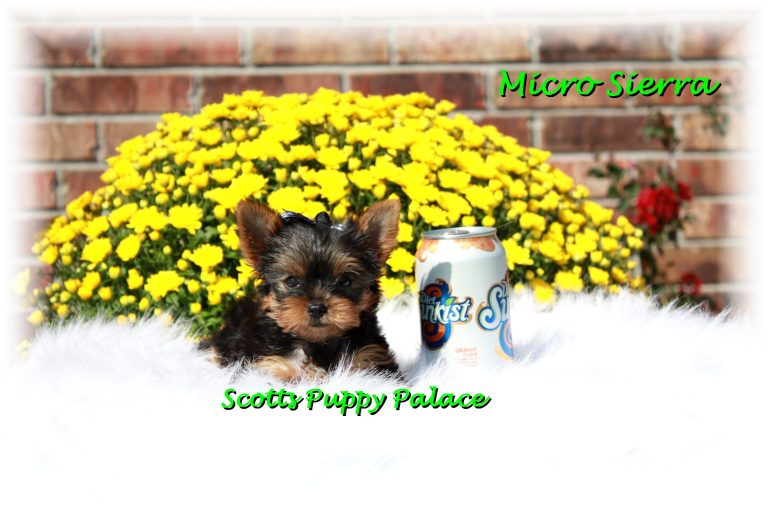 Teacup Puppies For Sale in Colorado Blog