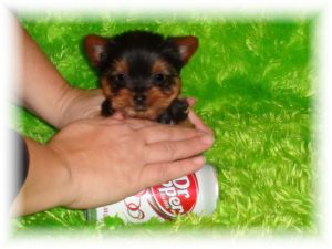 Cheap Teacup Puppies For Sale