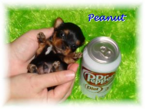 Miniature Teacup Puppies For Sale